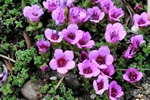 Purple Saxifrage (Saxifraga oppositifolia)